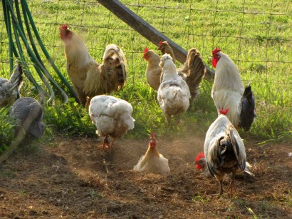 picture of chickens dust bathing