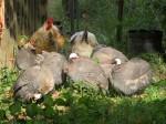 guineas-preening