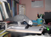 picture of parrot on desk