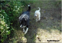 pic of farm collie and Maremma