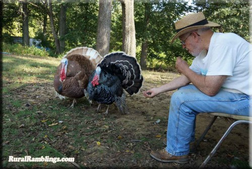 picture of man with 2 tom turkeys