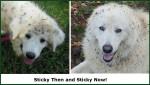 picture of Maremma sheepdog