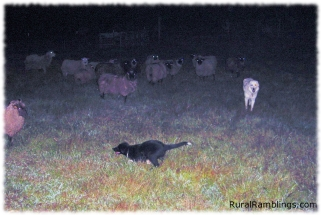 2004 Toby 08-27 sheep
