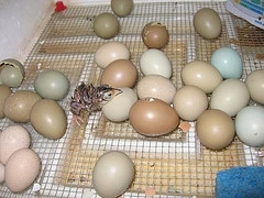 Pheasant Hatching Eggs